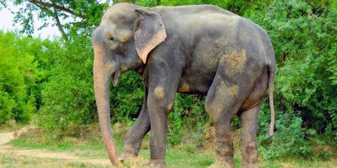 Gajah Dipasung
