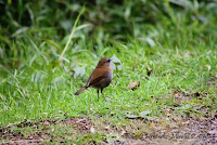 Zorzal piquinegro  Cuitiento, Black billed Nightingale Thrush, Catharus gracilirostris