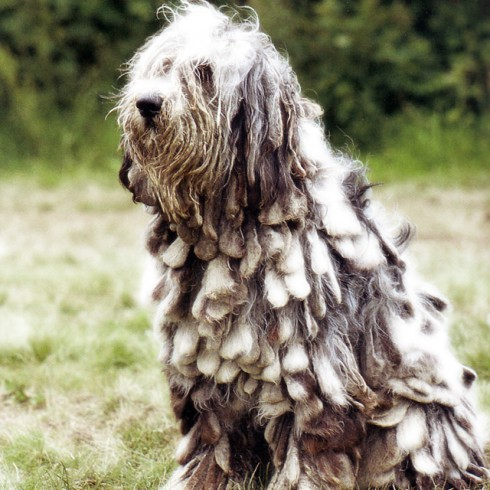 Bergamasco Dog Picture