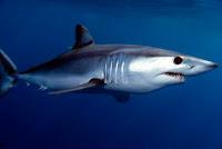 animal más rápido en el mar