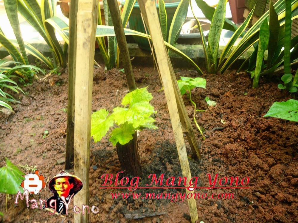 Cara dan Tips menanam pohon anggur di halaman rumah.