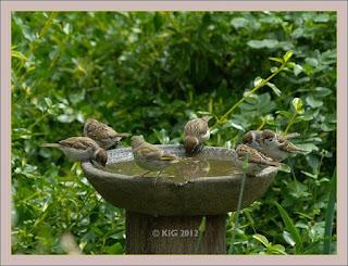 Vögel kommen oft in Trupps zum Vogelbad