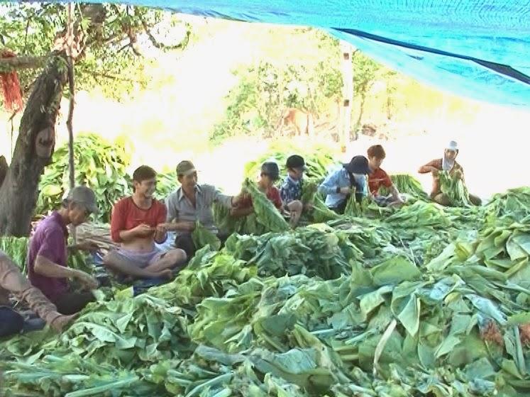 Gia Lai: Nông dân Ayun Pa tập trung thu hoạch thuốc lá