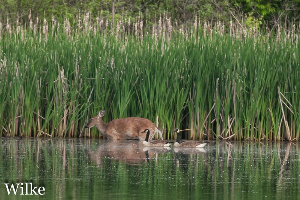 A deer takes a dip in the lake.