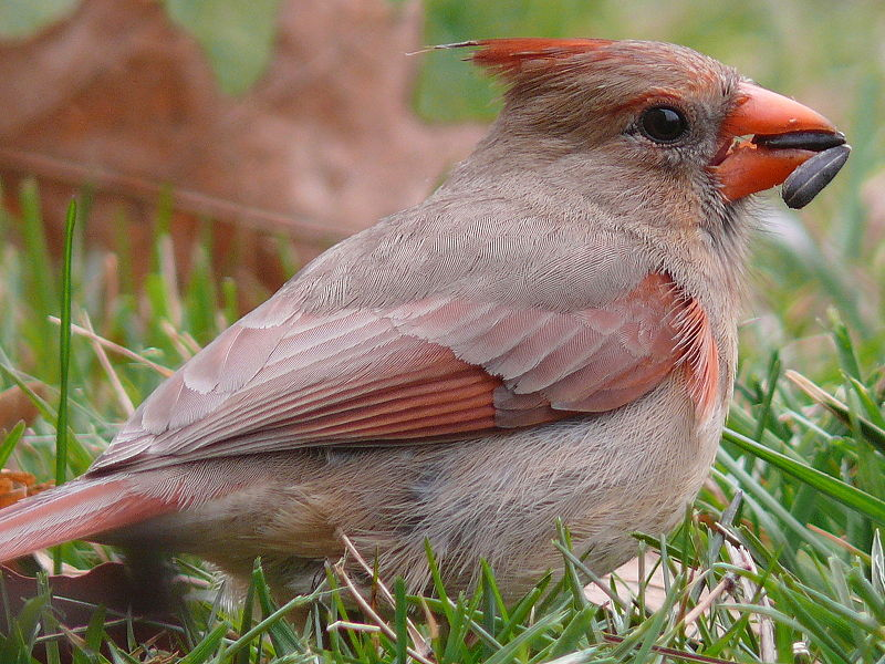 Los sellos del pájaro cantante nevoso celebran a cuatro stalwarts del invierno - BirdWatching