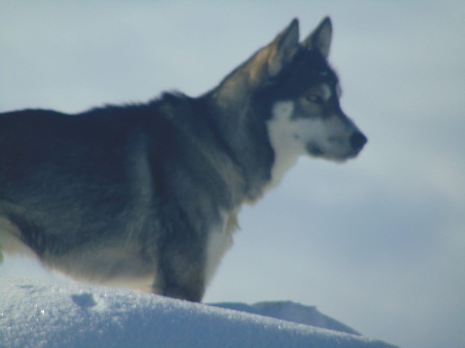 Husky-Wolf