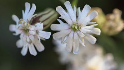 Silene parryi (Parry's Silene, Parry's Catchfly)