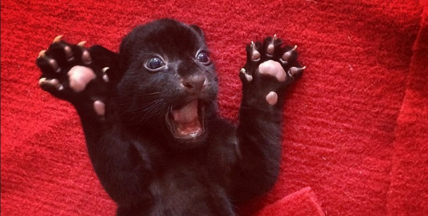Rare black tiger cub does its best to terrify  (PHOTOS)