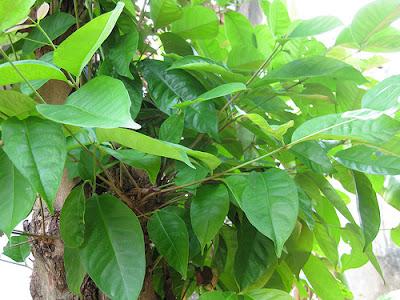 khasiat dan manfaat daun salam