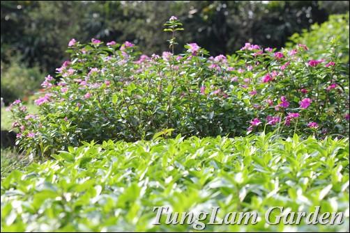 hoa dừa cạn, dừa cạn, hoa trồng thảm, hoa thảm, hoa công viên