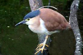 Cebu Zoo Rufous Night Heron