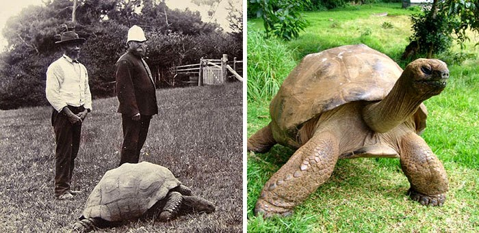 Jonathan The Tortoise Photographed In 1902 And Today - 1902 vs Today