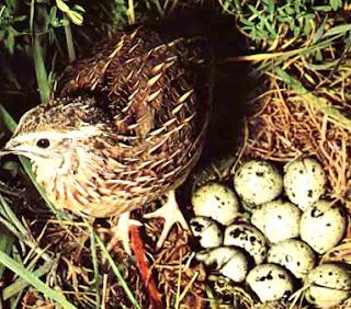 Codorniz junto a sus huevos