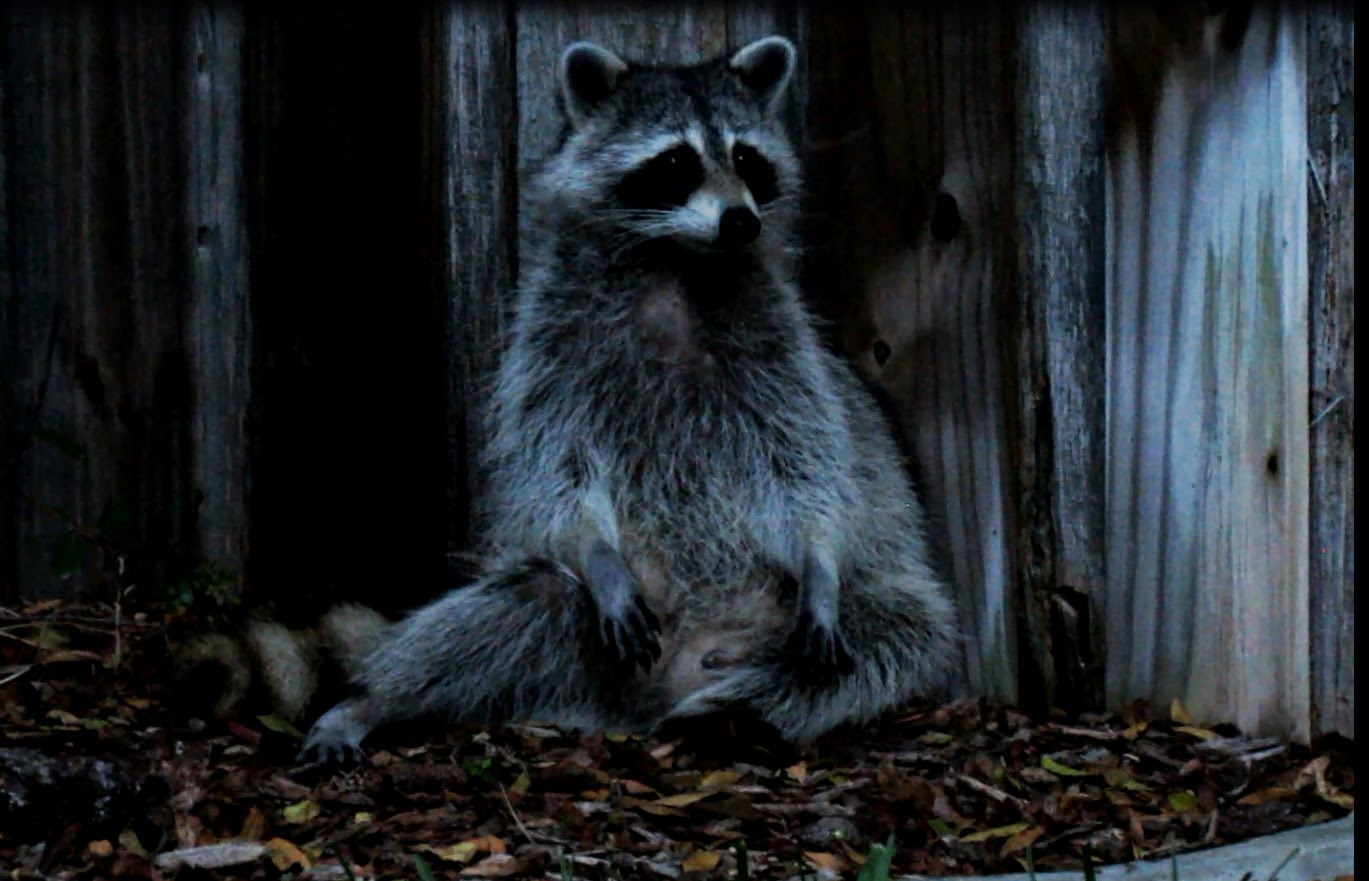 backyard birding and nature spending time with mother raccoon