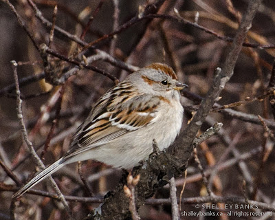 American Tree Sparrow. Photo © Shelley Banks, all rights reserved.