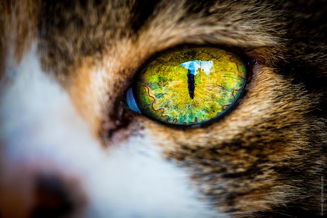 This is the close up of a wild cat eye.
