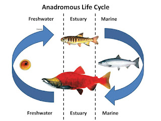 Anadromous fish cycle