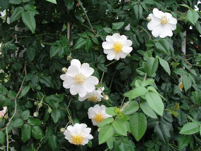 Rosa Sempervirens Flowers