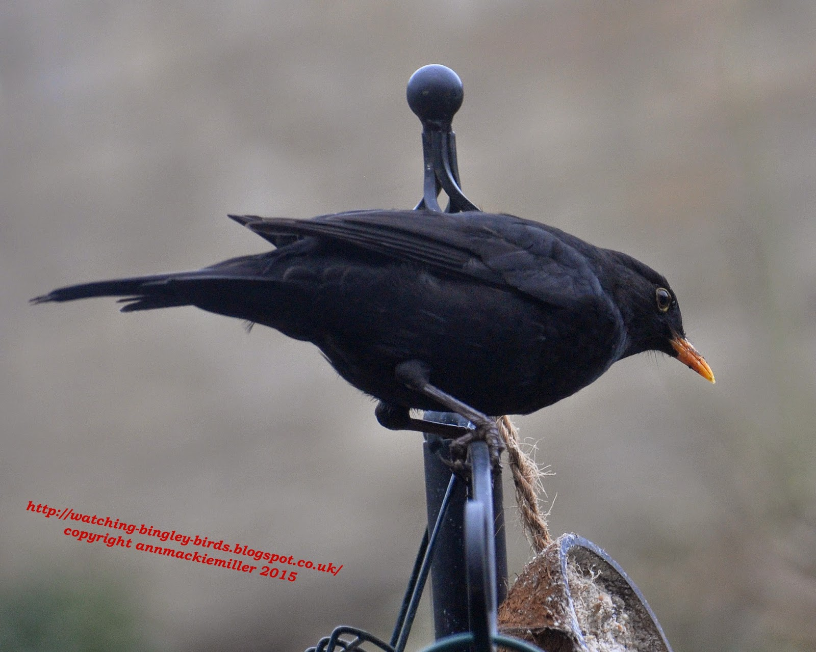 Male Blackbird on coconut feeder