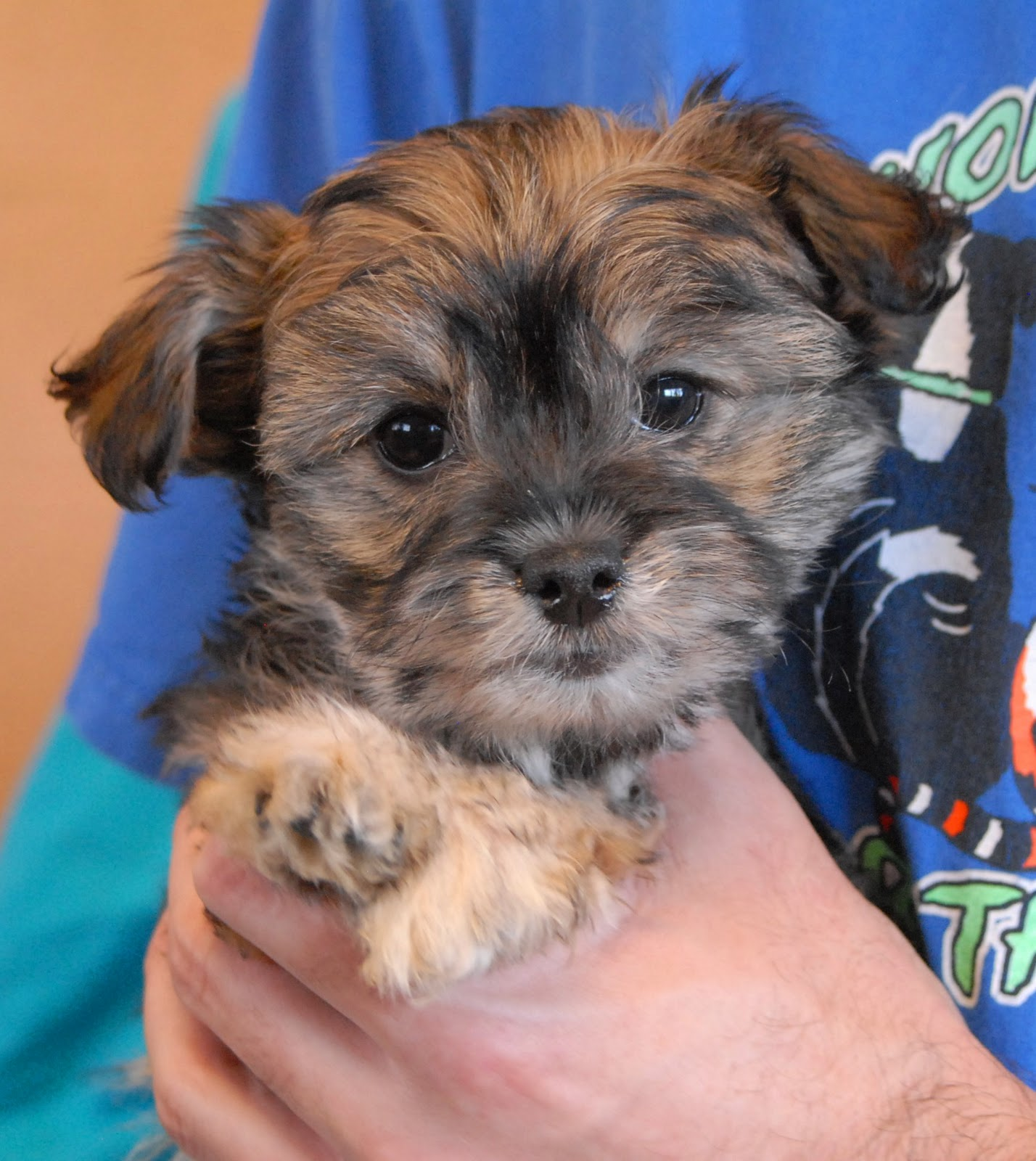 Nevada SPCA Animal Rescue 3 adorable Poodle mix puppies debuting