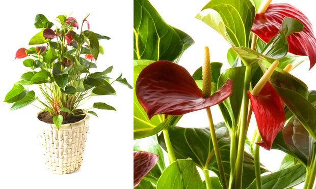 da paz  Esta é uma das poucas plantas que florescem na sombra Se