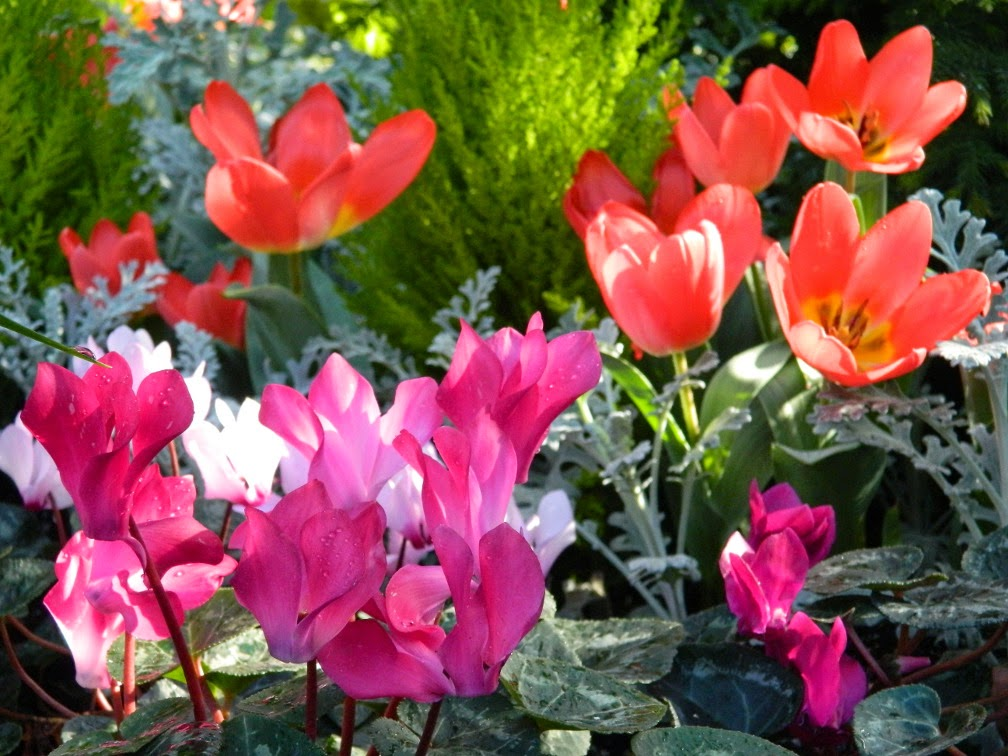 Red tulips Fleur En Vogue Purple cyclamen  Allan Gardens Conservatory 2015 Spring Flower Show by garden muses-not another Toronto gardening blog