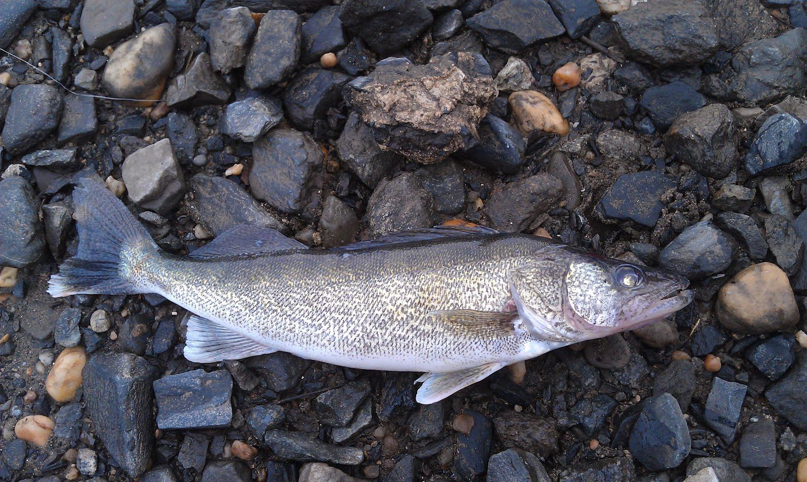 Lew 39 s fly angler chesapeake bay and gunpowder river for Susquehanna river fishing