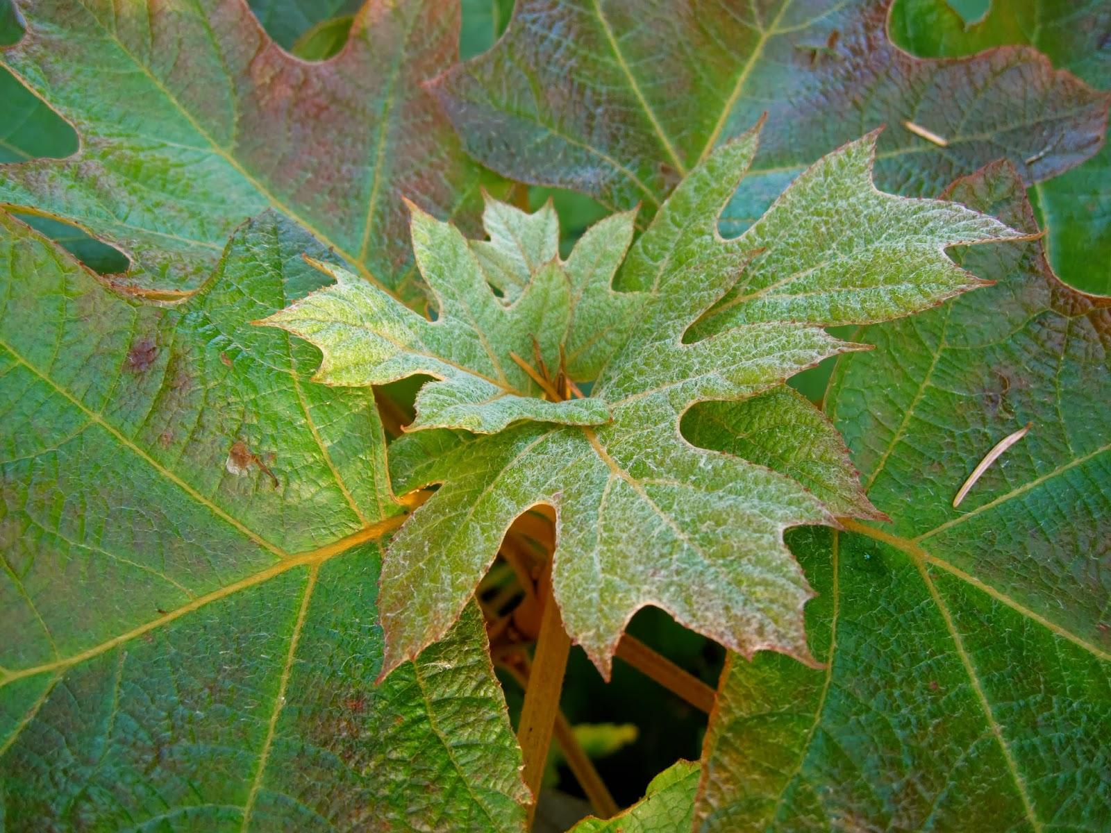 Bonney lassie hydrangea quercifolia on a frosty morning for Hydrangea quercifolia