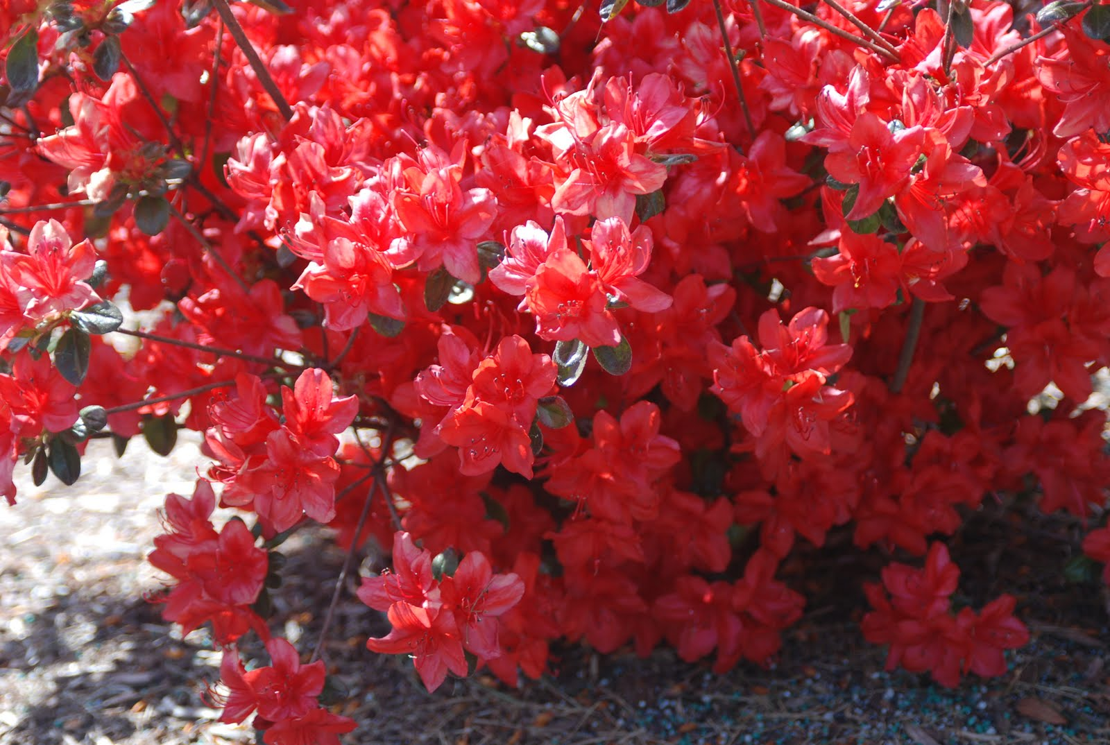 red azalea Red formosa azalearhododendron indica red formosa red formosa belongs to the azalea grouping known as southern indica hybrids selected for their vigorou.