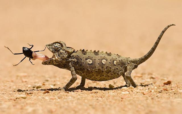 """<img src=""""http://1.bp.blogspot.com/-qXAf01X9zP8/UdvqnyRNl9I/AAAAAAAAAAw/hXuybikYswA/s1600/Animal_chameleon_207648.jpg"""" alt=""""animal wallpapers"""" />"""
