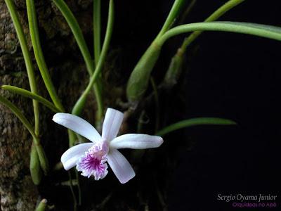 Mini-orquídea Laelia lundii
