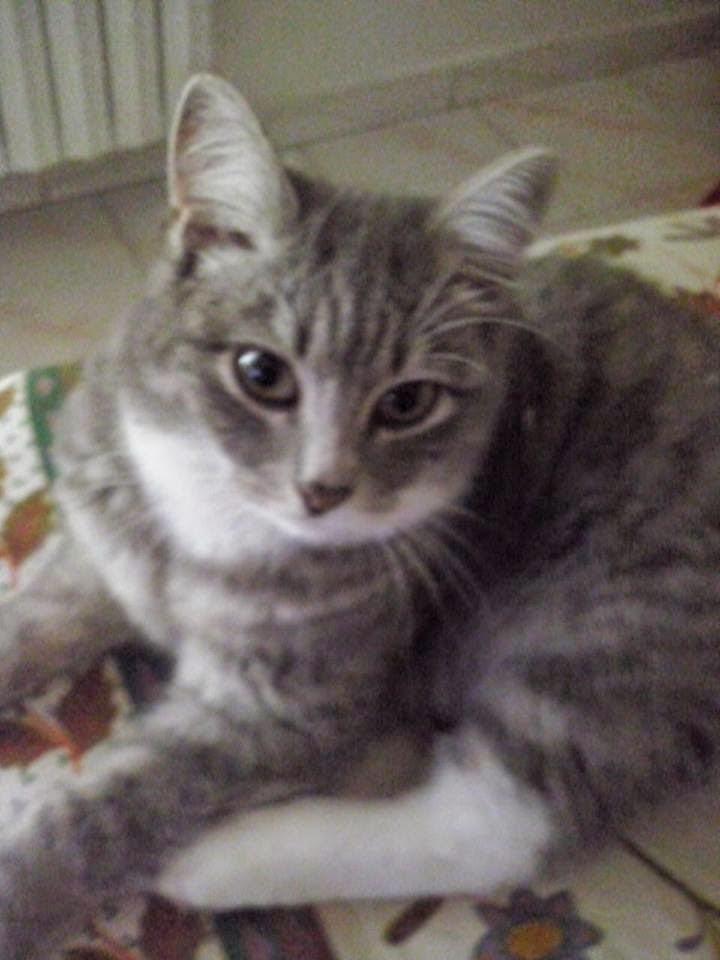 adozione gatto roma nord italia gattino
