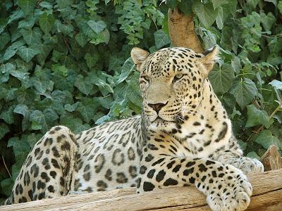 Foto Macan Tutul Persia (Panthera Pardus Ciscaucasica)