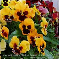 Viola wittrockiana 'Skyline Orange with Blotch' - Fiołek ogrodowy, bratek
