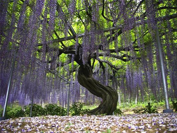 Glory\'s Garden: Wisteria of Japan