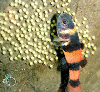 cá bống ống tre