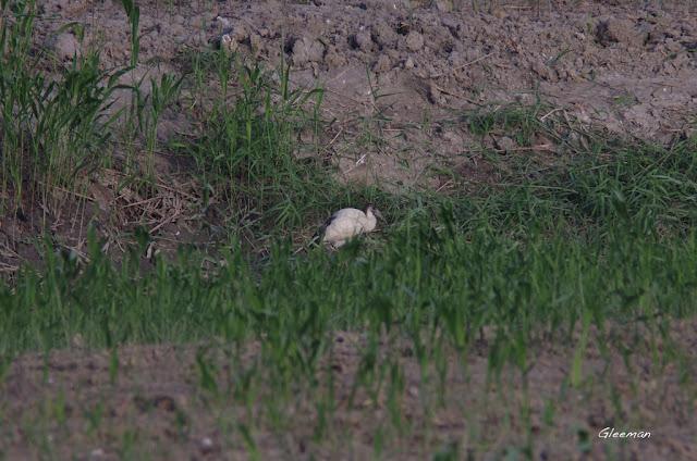 埃及聖鹮亞成鳥。關渡自然公園
