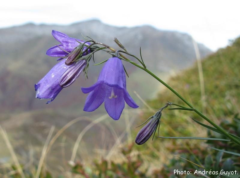 Orchid es du b arn toujours des fleurs en montagne fin novembre - Campanule a feuilles rondes ...
