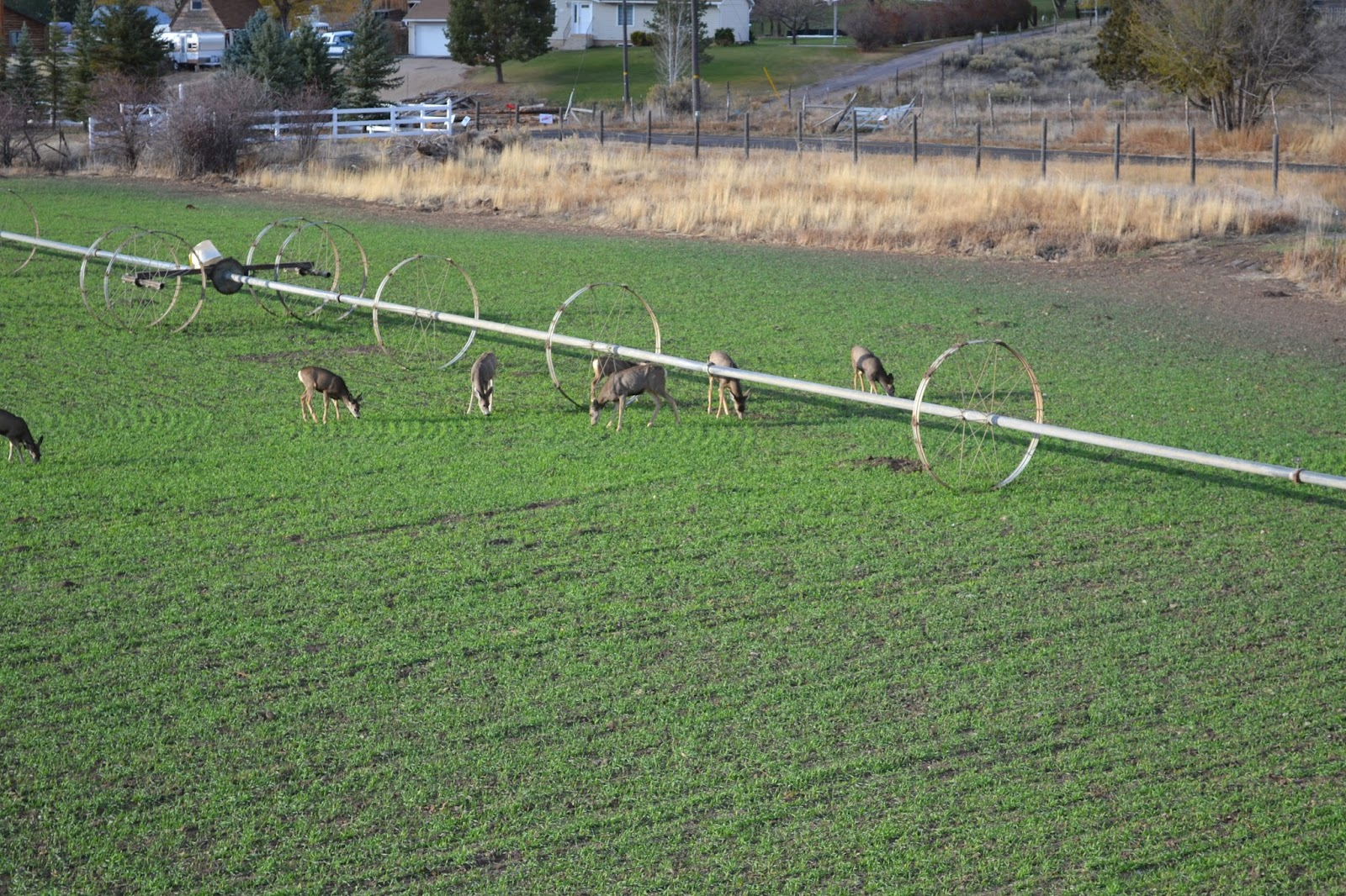 Deer in Field - Wallsburg, UT