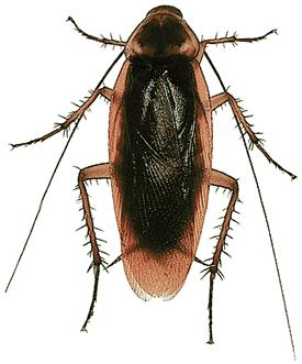Best Cockroach Killer Natural
