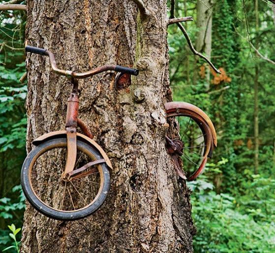 Basikal Hilang Selama Setengah Abad Rupanya Tertanam Dalam Pokok