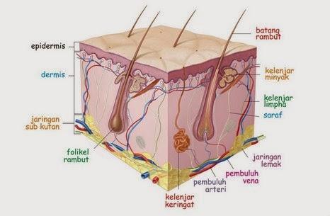 Penampang kulit manusia dan bagian-bagiannya