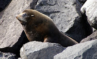 Fur Seal at Vicente Roca Point, Isabela Island, Galapagos