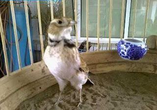 Stelan Burung Pek Ling Pasca Lomba-Stelan Lomba Burung Pek Ling-Perawatan Burung NgeDroop-Trik Perawatan Harian Burung Pek Ling-Tips Perawatan Harian Burung Pek Ling-Tips Merawat Pai Ling -Stelan Burung Pek Ling Pasca Lomba   Tips Merawat Pai Ling  Pelihara bersama dalam satu sangkar dengan betina. Sedangkan tempat khusus untuk kipu pada malam hari Tips Perawatan Harian Burung Pek Ling Pagi burung dijemur mulai pukul 07.00 sampai 10.00 Kemudian diangin-anginkan 10 menit lalu ditaruh di teras rumah yang sejuk Hingga menjelang malam burung di kerodong dan di Master Extra Foding wajib di pagi hari Kroto 1 sendok teh dan ½ sendok teh di sore hari Extra Foding Jangkrik cukup 1 ekor pagi dan 1 ekor sore Extra Foding Ulat Hongkong maupun Ulat Kandang bisa kita beri 3 hari sekali takaran ½ wadah pakan kecil Mandi bisa kita lakukan 2 hari sekali dengan cara mandi cepuk maupun mandi Semprot sesuai karakter burung ingin mandi metode seperti apa Usahakan selalu memberi campuran Shampo Jati Jajar ketika mandi, Hal ini diyakini bahwa Shampo Jati Jajar sangat bagus untuk menghaluskan bulu dan dapat menghilangkan bermacam Kutu yang menempel pada bulu Untuk memenuhi kebutuhan Vitamin dan Mineral burung, agar burung anda dalam kondisi Vit dan rajin bunyi cukup dengan menggunakan Ebod Vit, karena Ebod Vit Mengandung Vit A, Vit D3, Vit B1, Vit B2, Vit B6, Vit B12, Vit C dan Filic Acid, Ca-d-pantothenate, Nicotinamide dan Electrolyte untuk mengatasi Stres pada burung dan merangsang burung untuk berkicau, Memenuhi Vitamin dan menjaga keseimbangan tubuh tetap Vit Trik Perawatan Harian Burung Pek Ling  Pastikan Sangkar anda terisi dengan Pasir maupun batu merah yang sudah dihaluskan, Hal ini dilakukan agar burung terbiasa dengan habitat asalnya Pilih batu alas untuk bertengger yang datar Tempat wadah minum maupun pakan usahakan letaknya agak tinggi bertujuan untuk melatih burung terbiasa terbang Vertikal Usahakan memiliki sangkar yang Tinggi sekitar 125 cm lebar diameter 30 cm, Karena pada