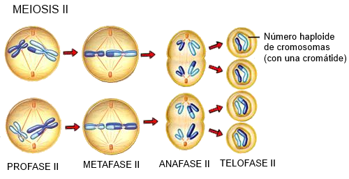 Process of sex cell division