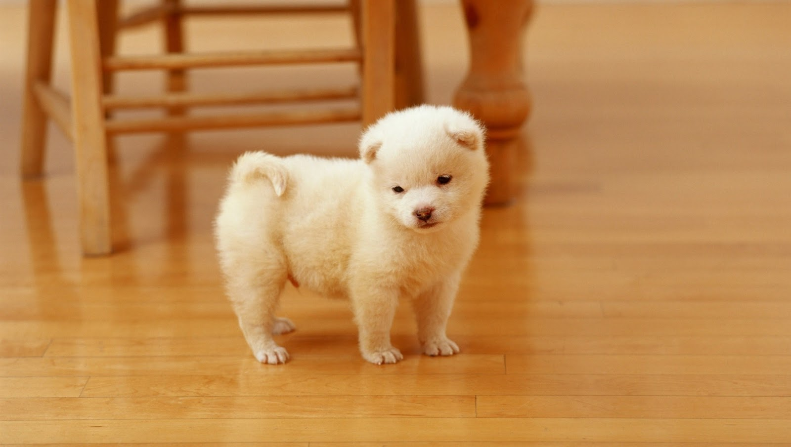 http://1.bp.blogspot.com/-qZUXGzs__-E/UQaL2CObkXI/AAAAAAAAHII/w0Hdyb3zpbU/s1600/Akita+Puppies+hd+Wallpapers_3.jpg