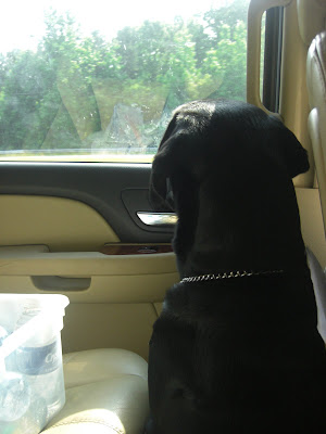 Picture of Rudy riding in the car - staring out the closed window