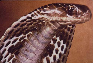 king cobra snake animal wallpaper species