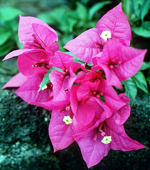 Khasiat Bunga Kertas untuk Kesehatan