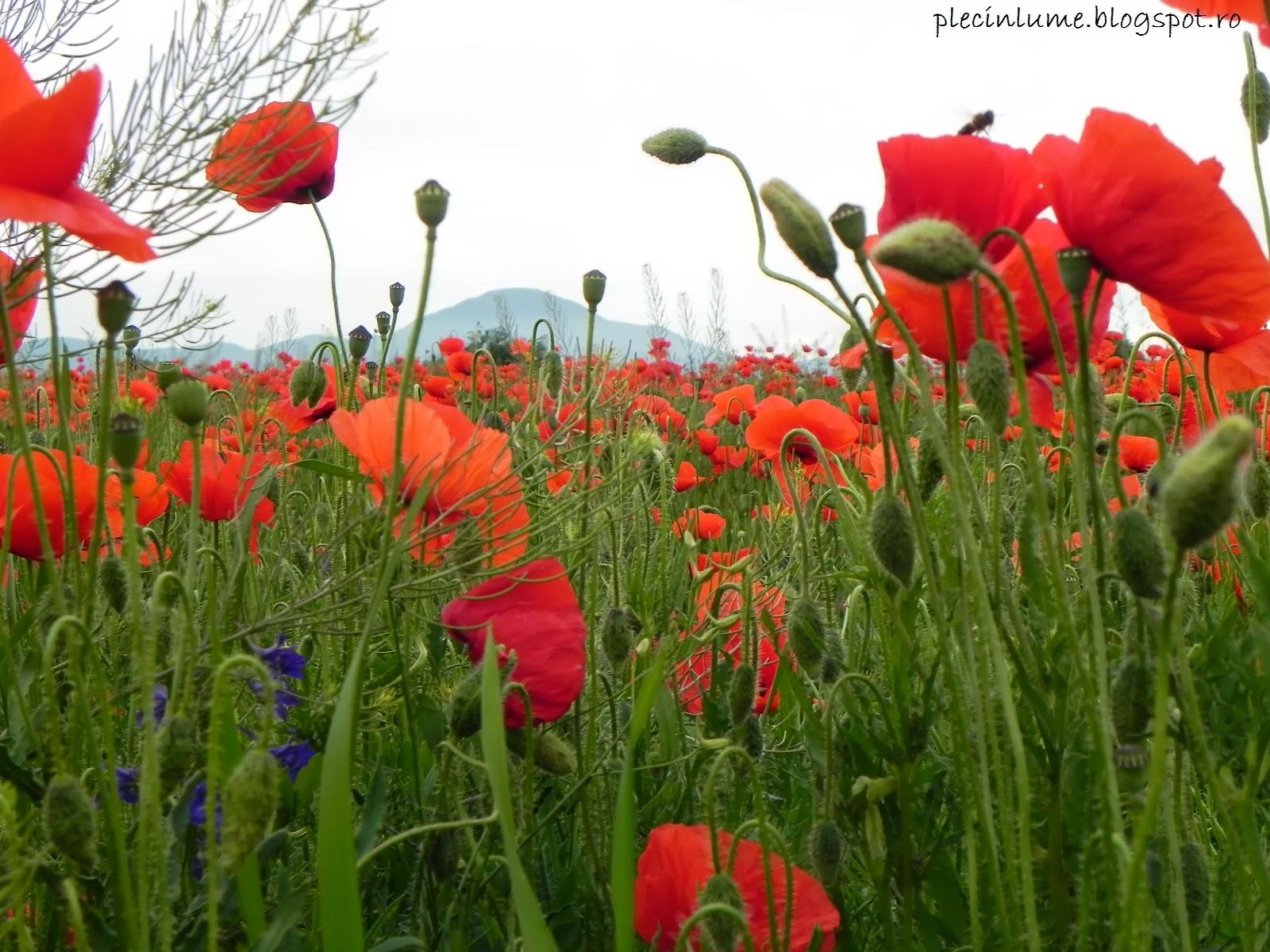 Floricele pe campii, la munte in acest caz